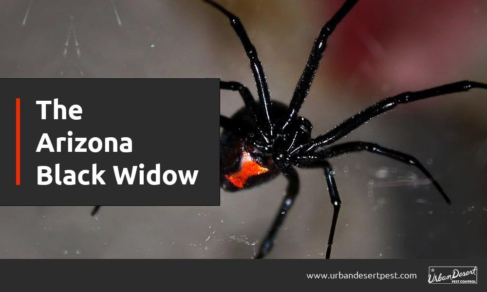 The Arizona Black Widow