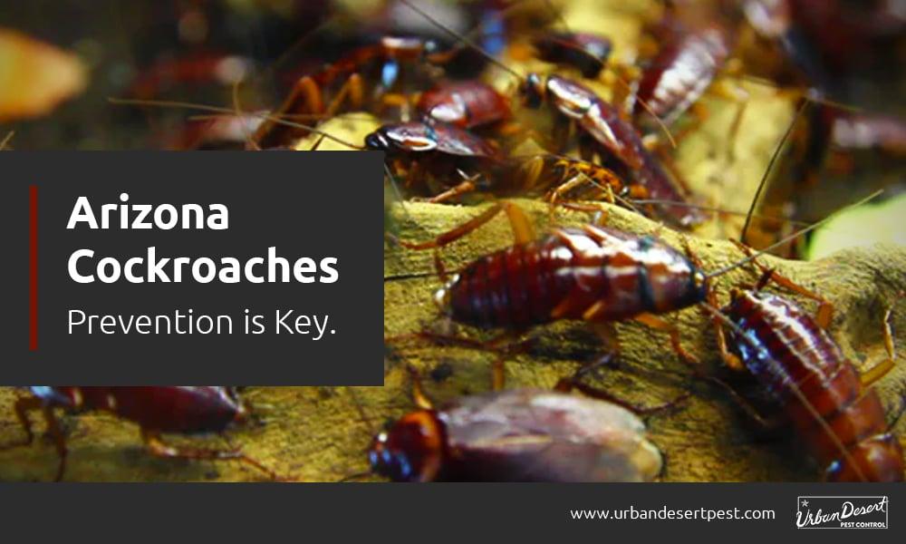 Arizona Cockroaches