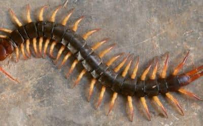 Arizona Centipedes: Common Types